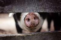 pesta-porcina-arges.jpg