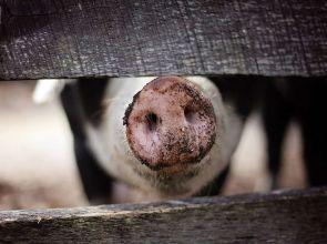 Pesta porcină revine în Argeș! Un nou focar de infecție a fost confirmat