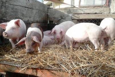 pesta-porcina-bascov.jpg